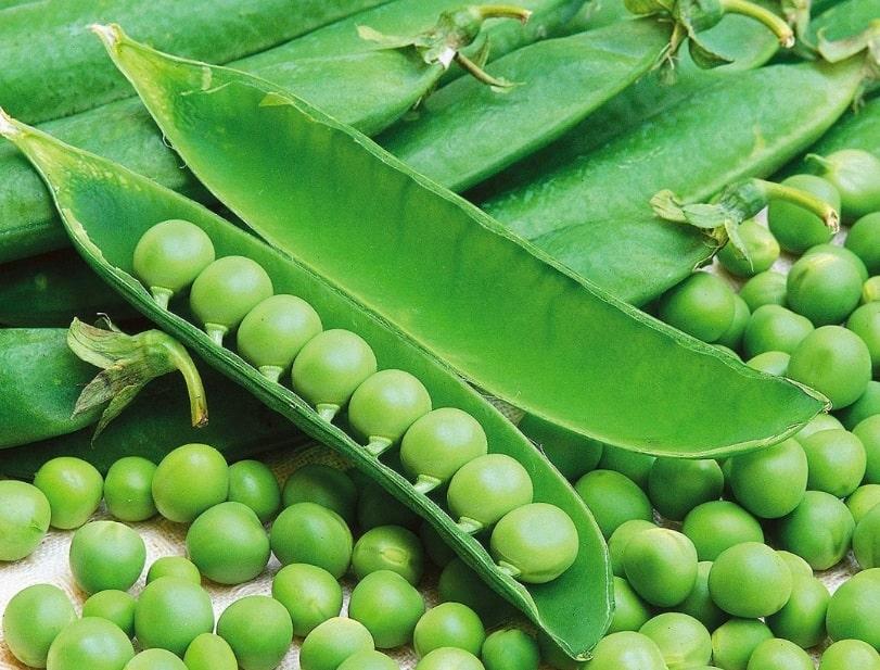 Горох фото растения